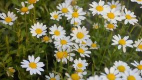 White Daisy flower stock video