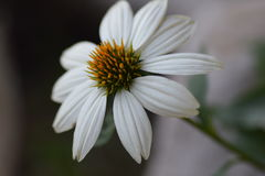 White daisy. White flower with blurred background Stock Image