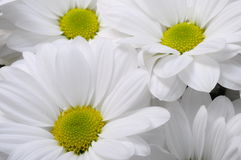 White daisy flower bouquet Royalty Free Stock Photo