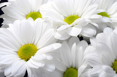 White daisy flower bouquet Stock Photography