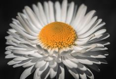 White Daisy flower close up on black background. Marguerite with white petals and a yellow middle with a detailed royalty free stock images