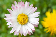 White daisy flower close up Royalty Free Stock Photos
