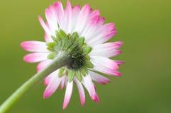 White daisy flower close up Stock Image