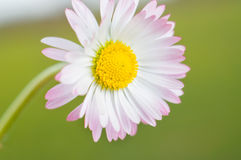 White daisy flower close up Stock Image