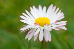 White daisy flower close up Stock Images