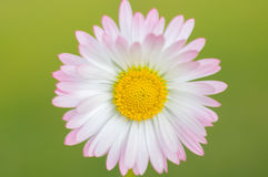White daisy flower close up Royalty Free Stock Images
