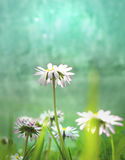 White daisy Flower. On colorful   Background Royalty Free Stock Photos