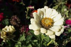 White Daisy Flower in dark garden. White flower closeup with yellow stamen reaching for light in a dark garden Stock Photo