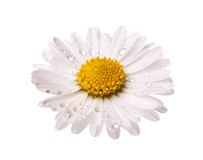 White daisy flower with dew drops Stock Photo