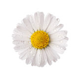 White daisy flower with dew drops. Isolated on white background Royalty Free Stock Photography