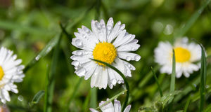 White daisy flower with drops Royalty Free Stock Photos