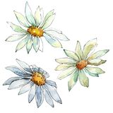 White daisy flower. Floral botanical flower. Isolated illustration element. stock illustration