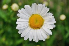 White Daisy Flower in Focus Photography Stock Image
