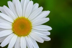 White daisy flower garden, with drops of dew on petals close-up. White daisy flower garden, with drops of dew on petals close up background camomile green rain stock image