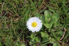 White daisy flower in the grass of the Groene Hart park in Nieu. Werkerk aan den Ijssel stock images