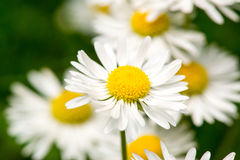 White daisy. Flower on green bokeh background close-up stock image