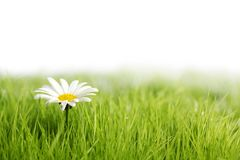 White daisy flower in green grass Stock Photo
