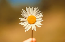 White daisy flower in hand of a man with a blurred background of nature. White daisy flower in hand of a man with a blurred background of nature royalty free stock photos