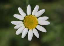 White Daisy Flower. White flower isoalated. White Daisy Flower Royalty Free Stock Photos