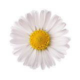 White daisy flower. Isolated on white background Royalty Free Stock Photos