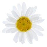 White daisy flower Stock Photos