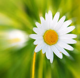 White daisy flower . Royalty Free Stock Images