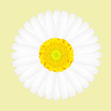 White daisy flower isolated on yellow background Royalty Free Stock Photography