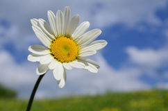 White Daisy flower. Macro shot of white Daisy flower against soft bokeh of green meadow and blue sky with white, scattered clouds Royalty Free Stock Image