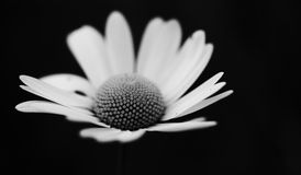 White daisy flower. Macro view of a white daisy flower with a black background Stock Image