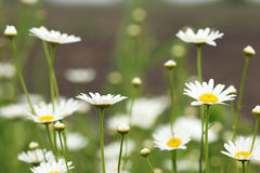 White daisy flower meadow spring Royalty Free Stock Image