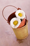 White daisy flower with old tin bucket Royalty Free Stock Photos