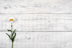 White daisy flower on old wooden table. Stock Image