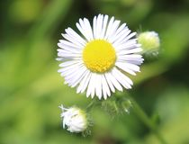 White, Daisy, Flower, Outside, Blurry background. royalty free stock image
