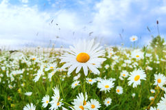 White daisy flower over blue sky Royalty Free Stock Images