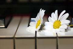 White Daisy Flower on Piano Keys Royalty Free Stock Photography