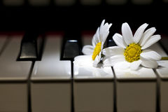 White Daisy Flower on Piano Keys Royalty Free Stock Images