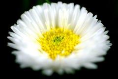 White Daisy flower spring macro close royalty free stock photography