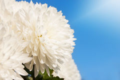 White Daisy Flower Under the Sky. White Daisy Flower Under the Clear Blue Sky Stock Photo