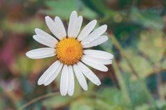 White Daisy Flower With Water Dew stock image