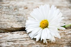 White  daisy flower. On a   wooden background. Greeting card background  ,empty space for text Stock Photos