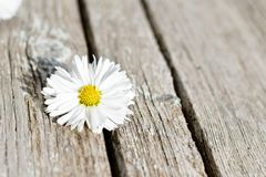 White  daisy flower Royalty Free Stock Photography