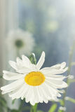 White daisy flower on windowsill Stock Photo