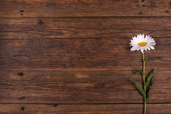 White daisy flower on wooden background. Royalty Free Stock Photography
