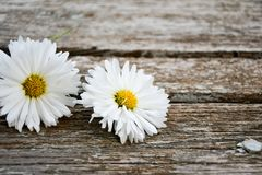 White  daisy flower. On a   wooden background. Greeting card background  ,empty space for text Stock Photography