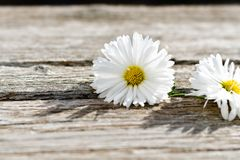 White  daisy flower. On a   wooden background. Greeting card background  ,empty space for text Stock Images