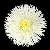 White Daisy Flower with Yellow Center Isolated Stock Image