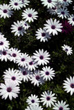 White daisy flowers Royalty Free Stock Photography