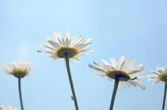White Daisy flowers on against blue sky closeup royalty free stock photography