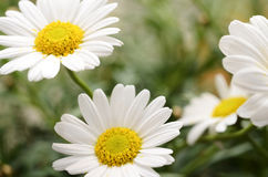 White daisy flowers for background Royalty Free Stock Photo