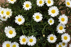 White daisy flowers for background Royalty Free Stock Image